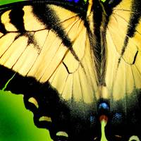 Eastern Tiger Swallowtail Butterfly Wing