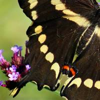Giant Swallowtail Butterfly Wing