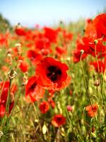 Flanders Field Poppy
