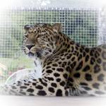 """Amur Leopard"" by loversdream"