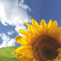 Hawaiian Sunflower For Aunt Chris Art Prints & Posters by david van amburg