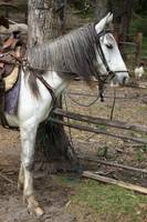 White Horse Tied to a Wood Rail