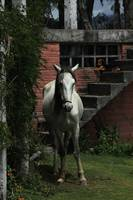 White Horse Next to a Barn