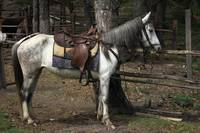 Saddled White Horse