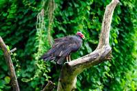 Cuban Vulture on Tree