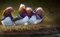 four brothers mandarin ducks