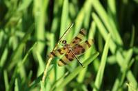 Brown and Yellow Dragonfly