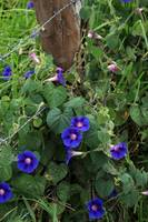 Morning Glories Next to a Fence