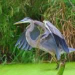 Blue Heron in the Wetlands