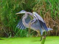 Blue Heron in the Wetlands