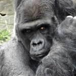 """Silver Back Gorilla"" by blackburnimage"