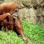 """Orangutan"" by blackburnimage"