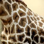 """Giraffe"" by blackburnimage"