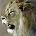 """African Male Lion"" by blackburnimage"