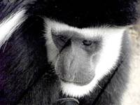 Eastern Black and White Colobus Monkey