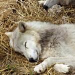 """""""Sleeping White Wolf"""" by blackburnimage"""