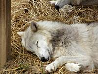 Sleeping White Wolf