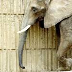 """African Elephant"" by blackburnimage"