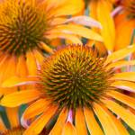 """Coneflower"" by WildAboutNaturePhotography"