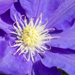 """Clematis"" by WildAboutNaturePhotography"