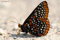 Baltimore Checkerspot 039
