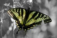Canadian Tiger Swallowtail 031