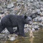 """""""Black Bear and Rotten Salmon, Town of Kake, Alaska"""" by SederquistPhotography"""
