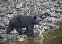 Black Bear and Rotten Salmon, Town of Kake, Alaska