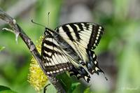 Canadian Tiger Swallowtail 036