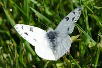 Checkered White 085