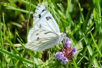 Checkered White 087
