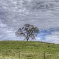 Oak Tree Solitaire(Org) Art Prints & Posters by Susana Rigato