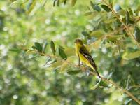 Pretty Goldfinch
