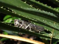 Gray Grasshopper Hiding