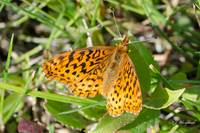 Meadow Fritillary 121