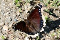 Mourning Cloak 143
