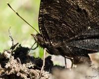 Mourning Cloak 165