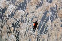 Singing In The Reeds