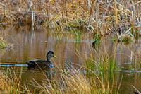 Black Duck On Pond