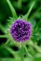Purple and Green Thistle