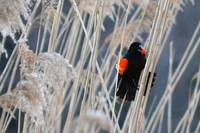 Singing in the Reeds 2