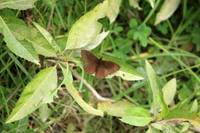 Brown Moth on a Plant