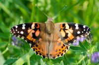 Painted Lady 085