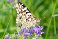Painted Lady 094