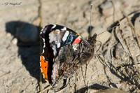 Red Admiral 025