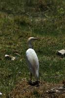 Cattle Egret in a Meadow