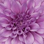 """""Old Soul"" Dahlia Flower"" by SoulfulPhotos"