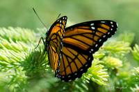 Viceroy Butterfly 007