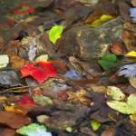 """Autumn Leaves in a Stream"" by AppleCoreStudio"