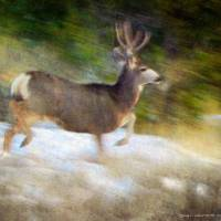 buck mule deer blur in snow Art Prints & Posters by r christopher vest